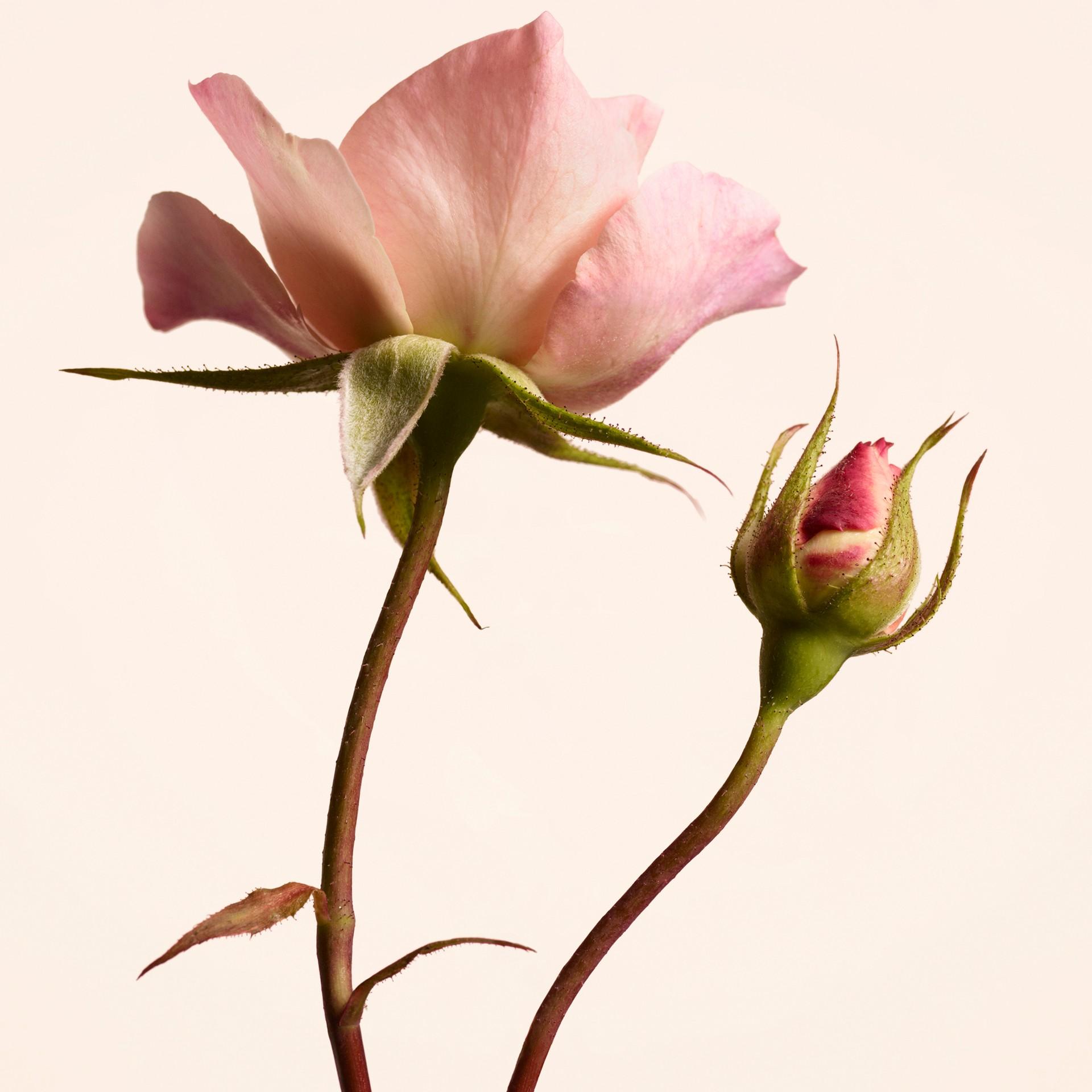 Burberry Signatures Garden Roses Eau de Parfum 100ml | Burberry United States - gallery image 2