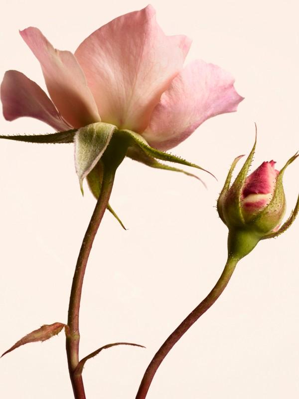 Burberry Signatures Garden Roses Eau de Parfum 100ml | Burberry United States - cell image 2