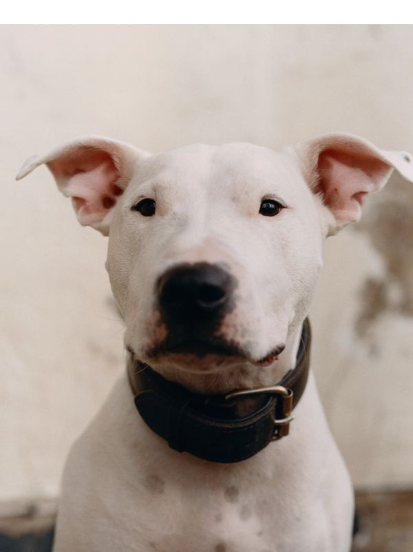 Boysey, aged four, is an English bull terrier and Staffy cross. When he's not perfecting his 360 degree jump spin, he likes to curl up under the duvet with Billie. If Boysey feels like he should be getting more attention, he will let out a loud, dramatic sigh.