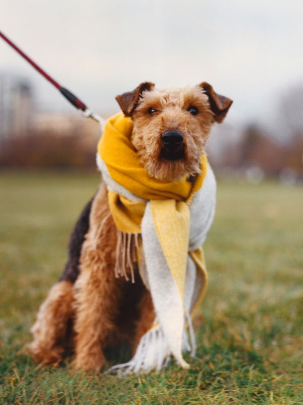 Welsh terrier Tracy-Jane also answers to TJ, Princess, Pooch and Twinkle. Her favourite toy is a black rat named Ratty. She dislikes anything water-related – rain, baths and puddles – and enjoys walks on the local green.